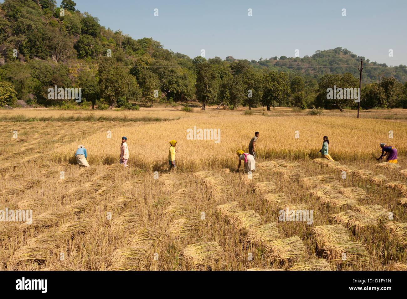 Villagers harvesting fields of rice, Orissa, India, Asia - Stock Image