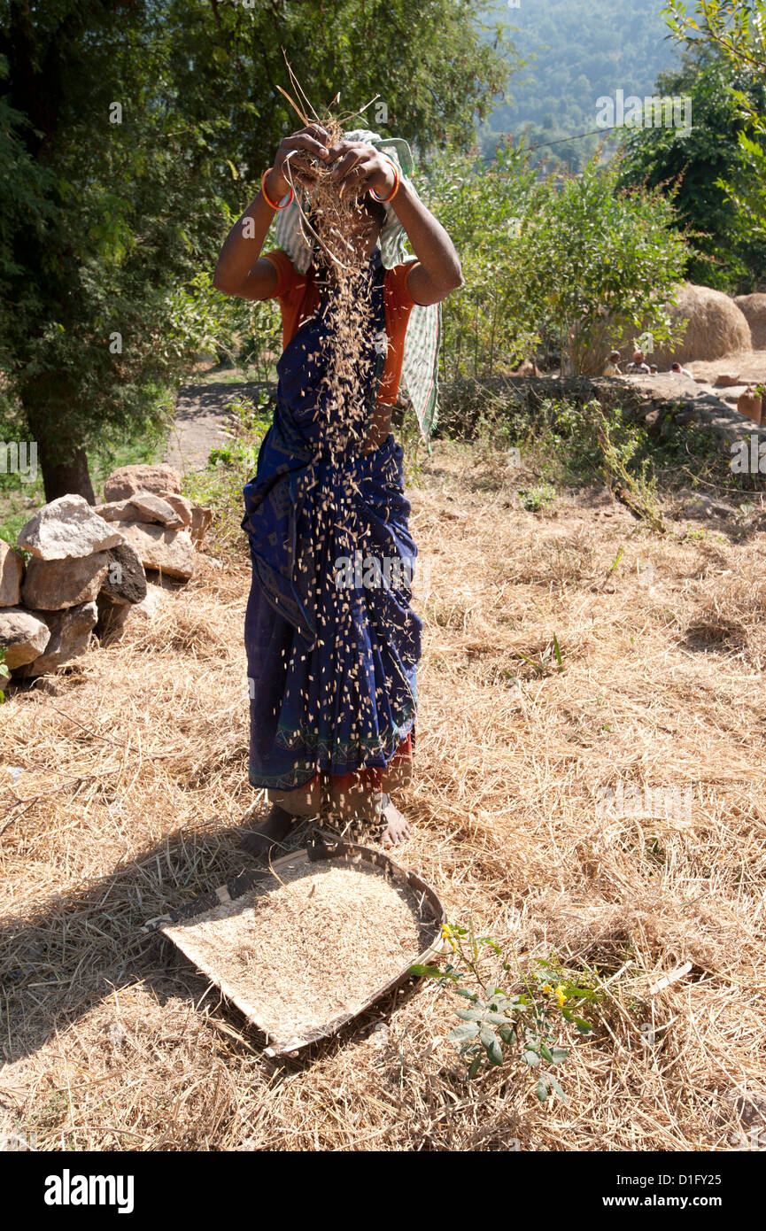 Young Saura tribeswoman winnowing village crop of newly harvested rice by hand, Orissa, India, Asia - Stock Image