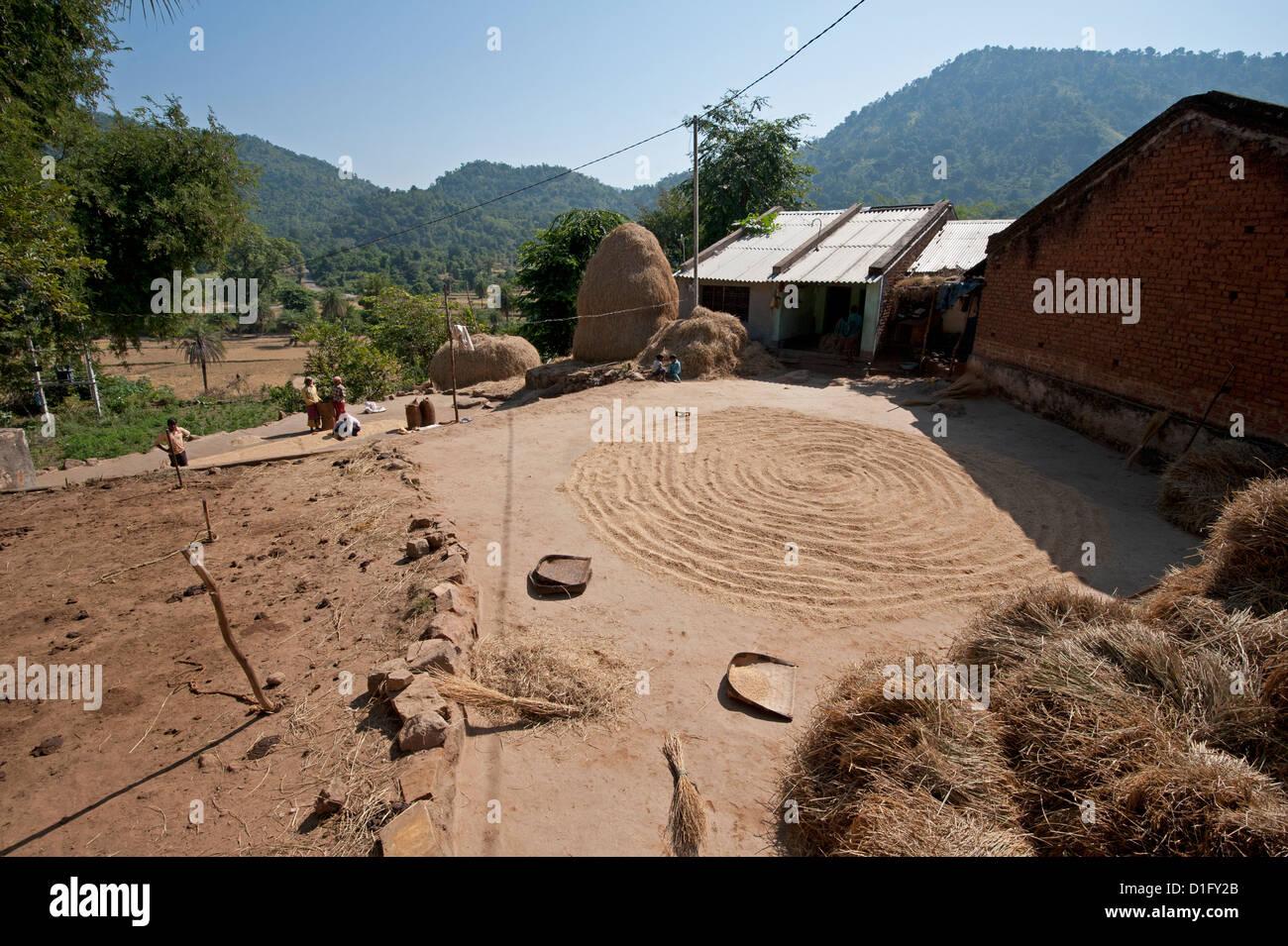 Saura village in rural Orissa, hand winnowed rice drying in the central area, Orissan style haystacks behind, Orissa, - Stock Image