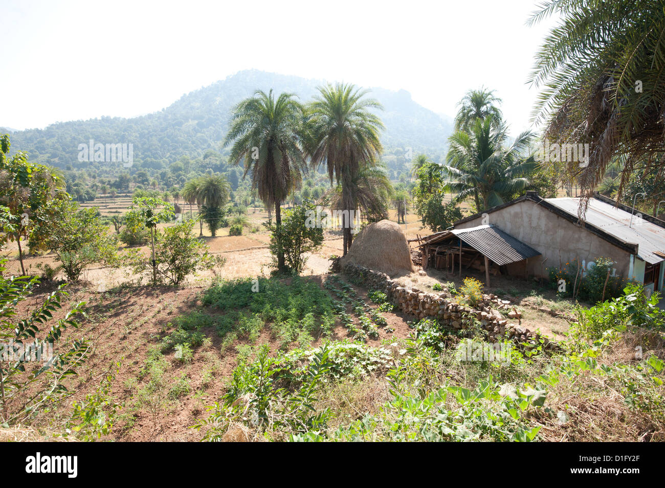 Vegetables growing in communal village plot in Saura tribal village, rural Orissa, India, Asia - Stock Image