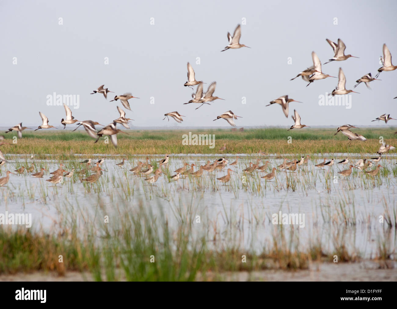 Sandpipers, stilts and redshanks taking flight from the shallow wetland waters at the edge of Chilika Lake, Orissa, - Stock Image