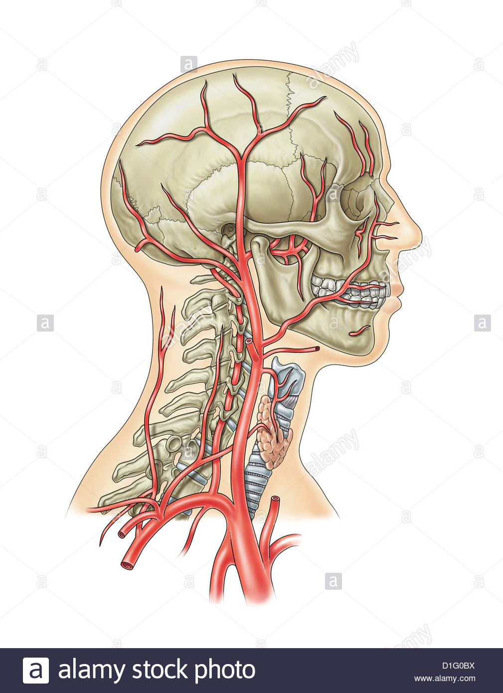 ILLUSTRATION - ARTERIAL BLOOD SUPPLY HEAD AND NECK Stock Photo
