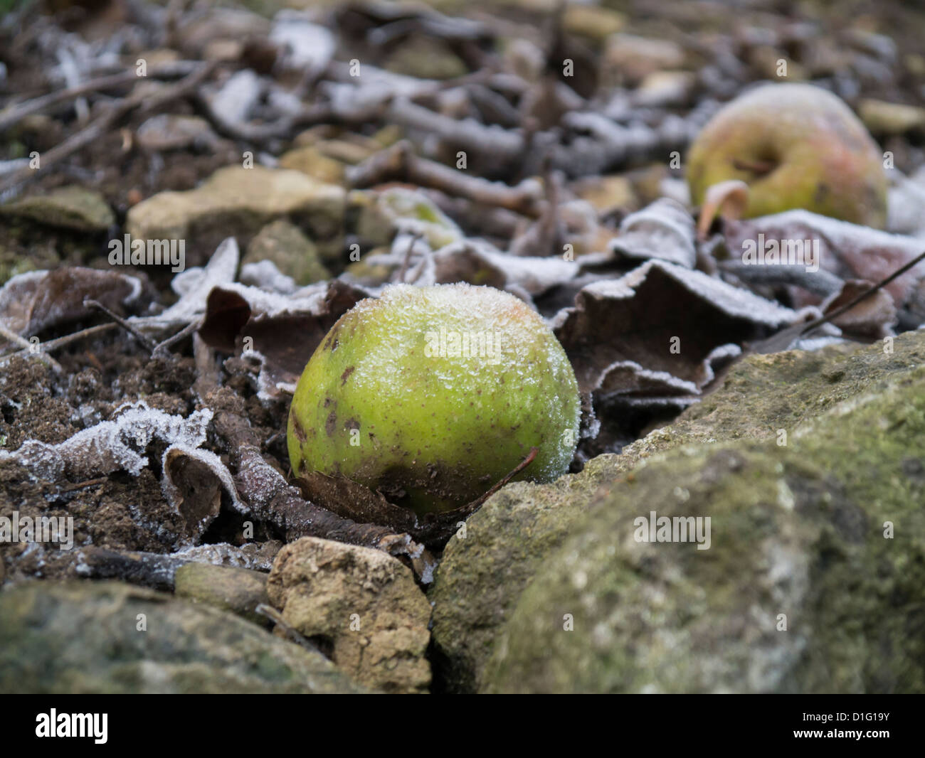 Old weathered winter windfall apple with a touch of frost - Stock Image