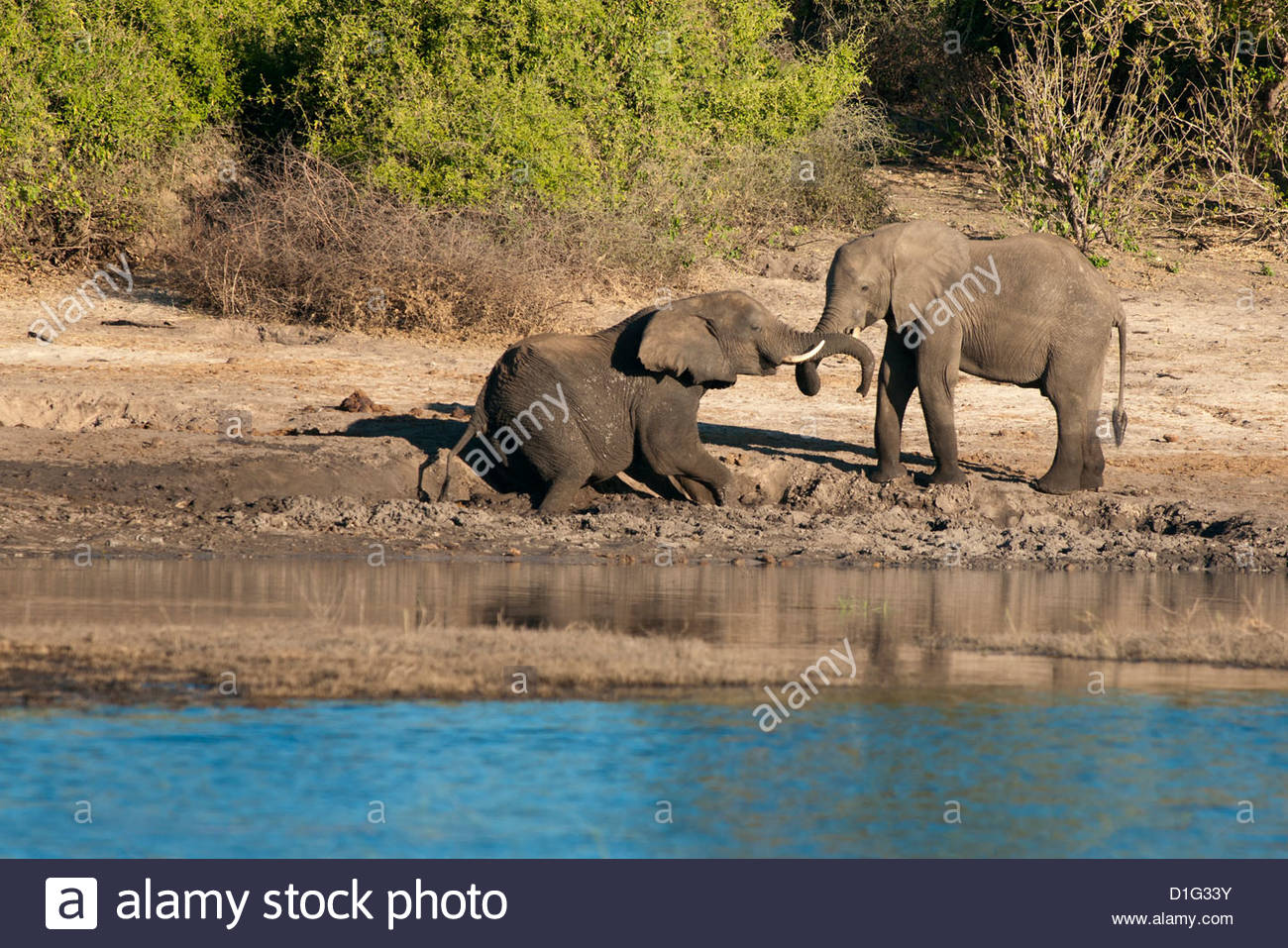 Elephants on the banks of the Chobe River, Caprivi Strip, Namibia, Africa - Stock Image