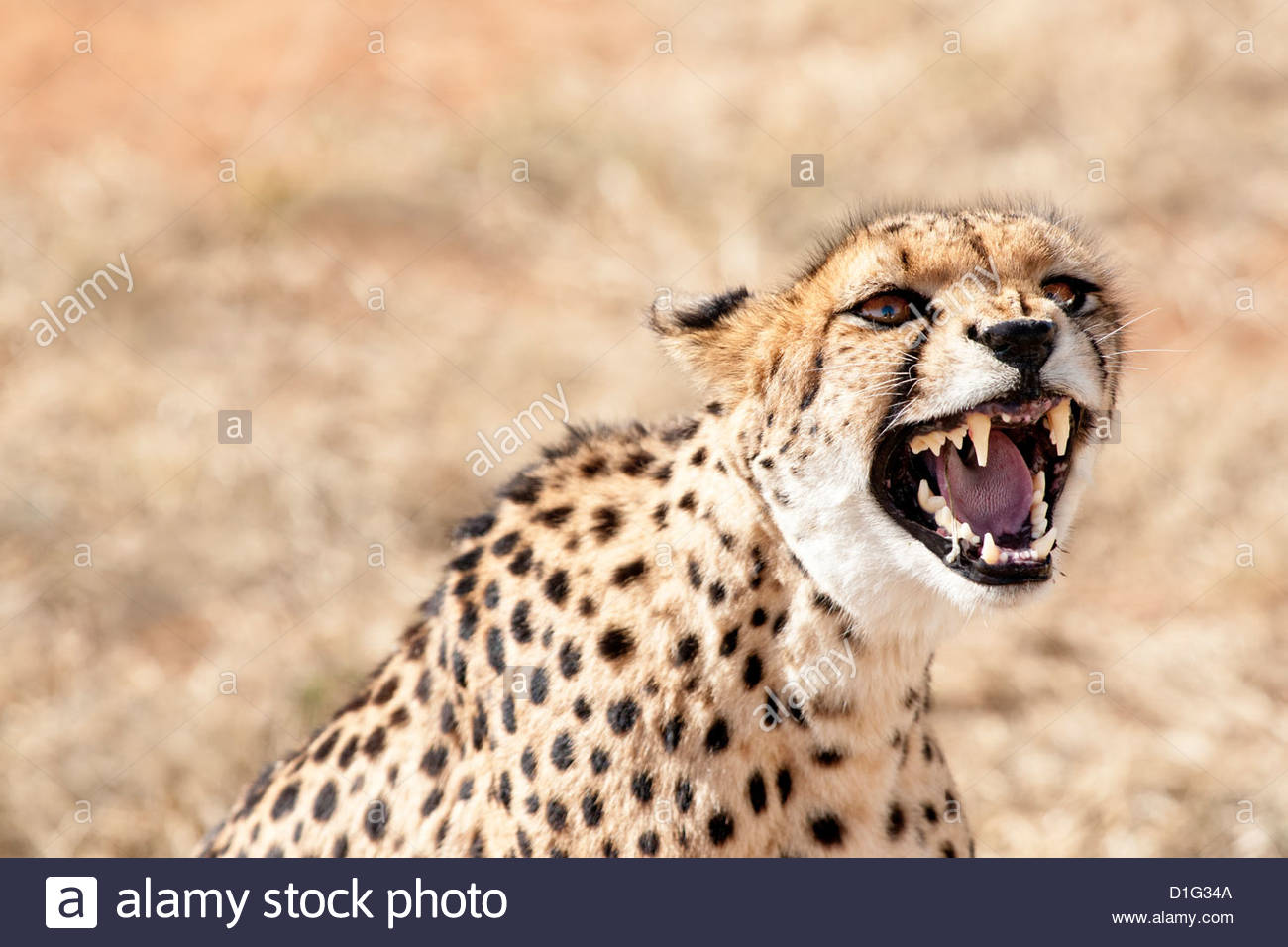 Snarling cheetah (Acynonix jubatus) showing teeth, Kalahari plains, Namibia, Africa Stock Photo