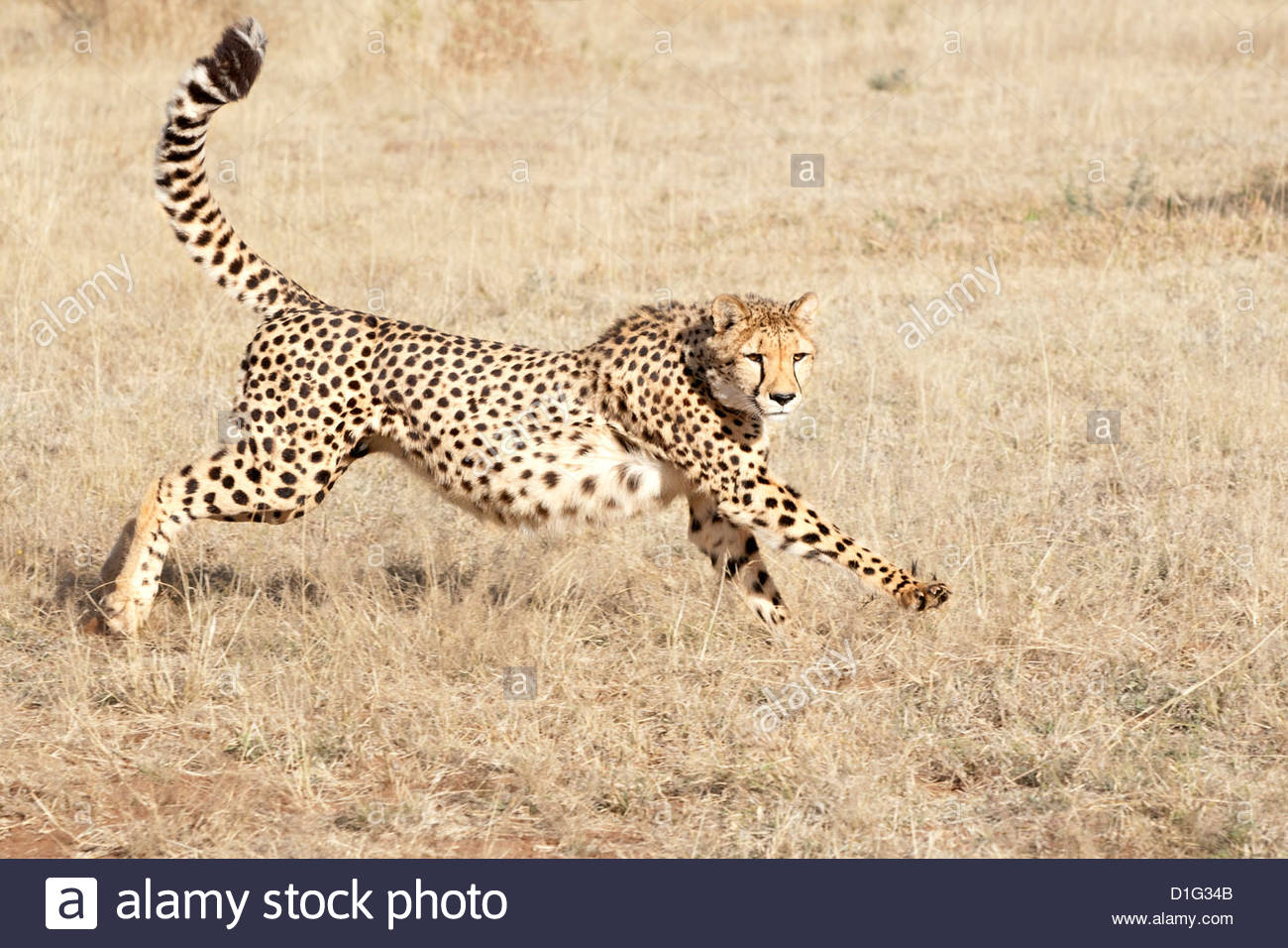 Running cheetah (Acynonix jubatus), world's fastest animal, Kalahari plains, Namibia, Africa - Stock Image