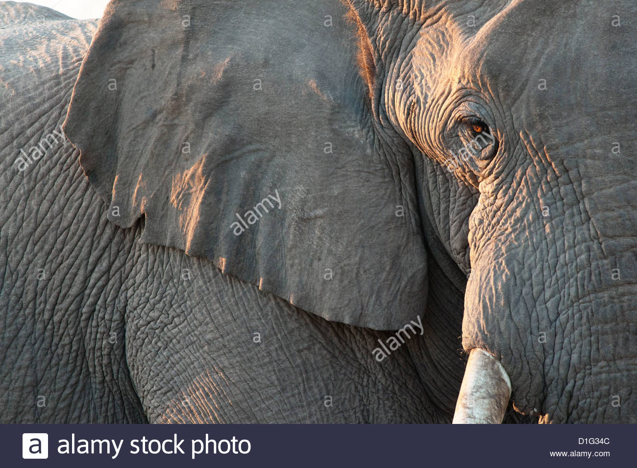 Close up of partial face, African elephant (Loxodonta africana), Etosha National Park, Namibia, Africa - Stock Image