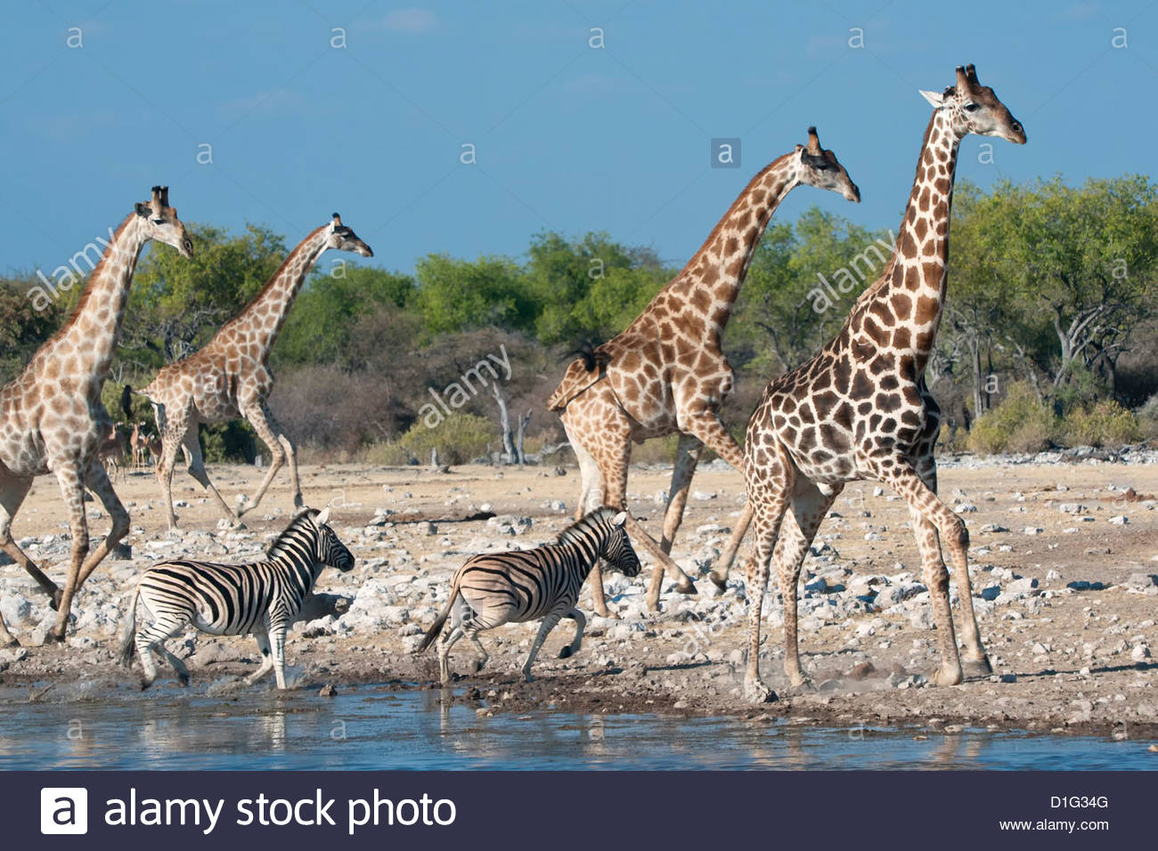 Giraffe (Giraffa camelopardis) and zebras (Equus burchelli) moving away from a waterhole, Etosha National Park, - Stock Image
