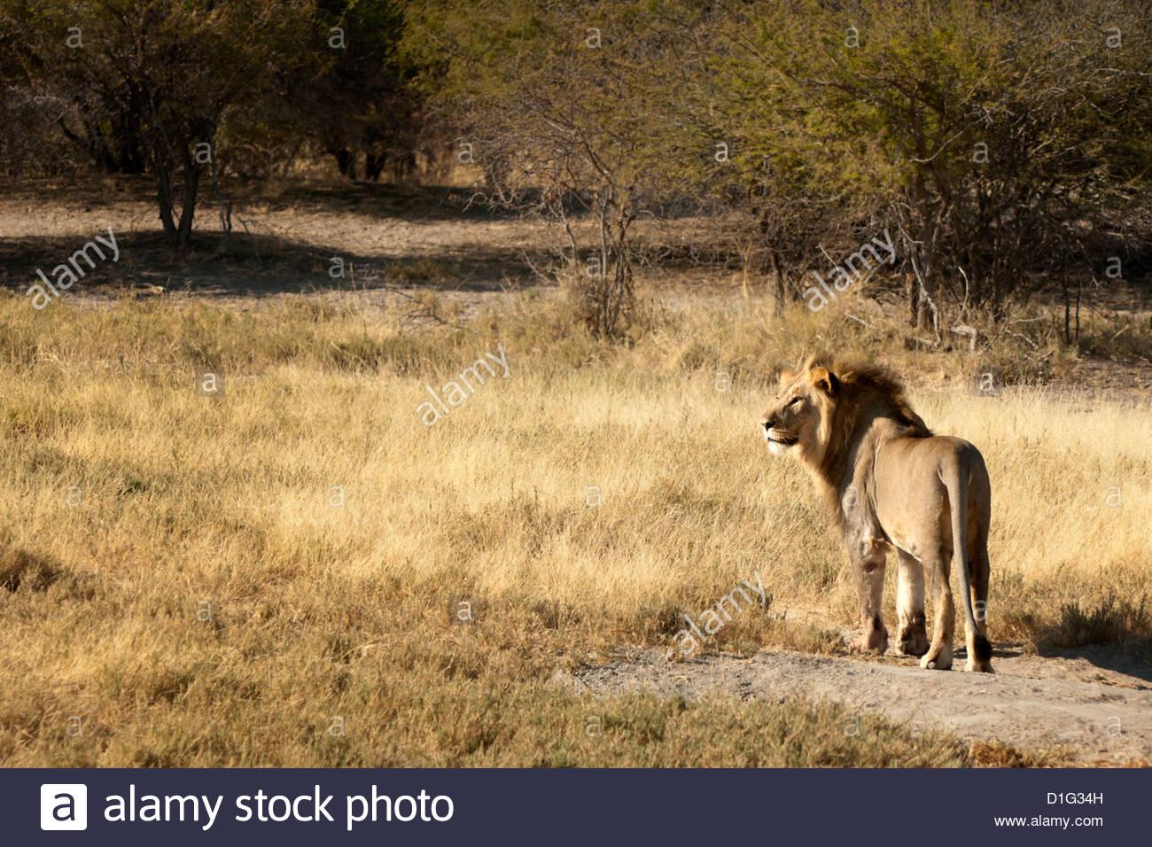 Lion (panthera leo), Namibia, Africa - Stock Image