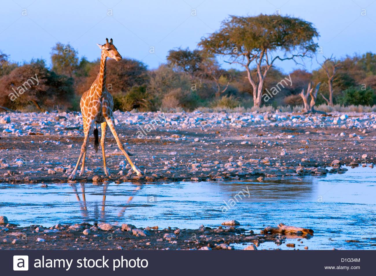 Giraffe (Giraffa camelopardis), Namibia, Africa Stock Photo