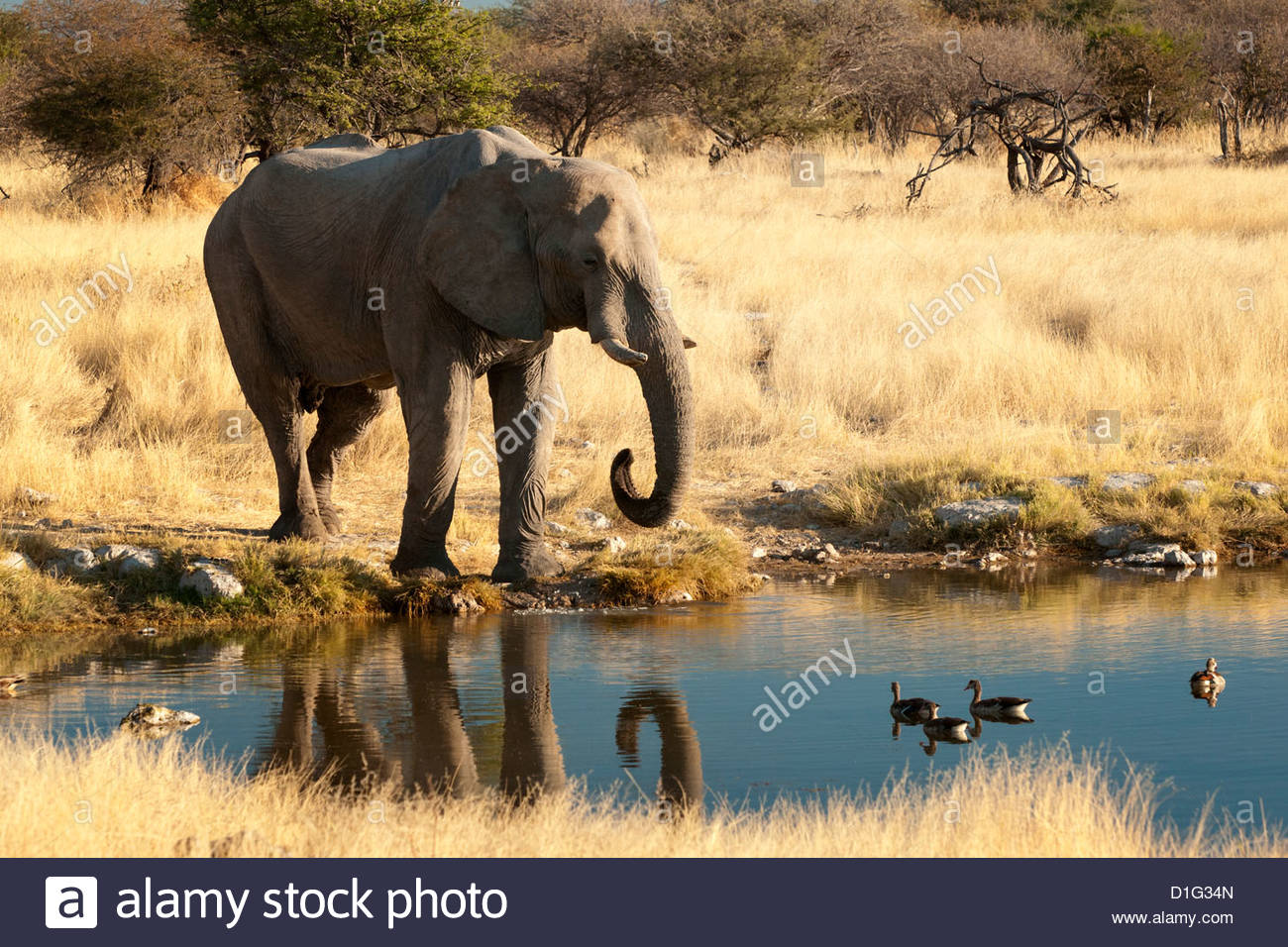 African elephant (Loxodonta africana) at water hole, world's largest land animal, Etosha National Park, Namibia, - Stock Image
