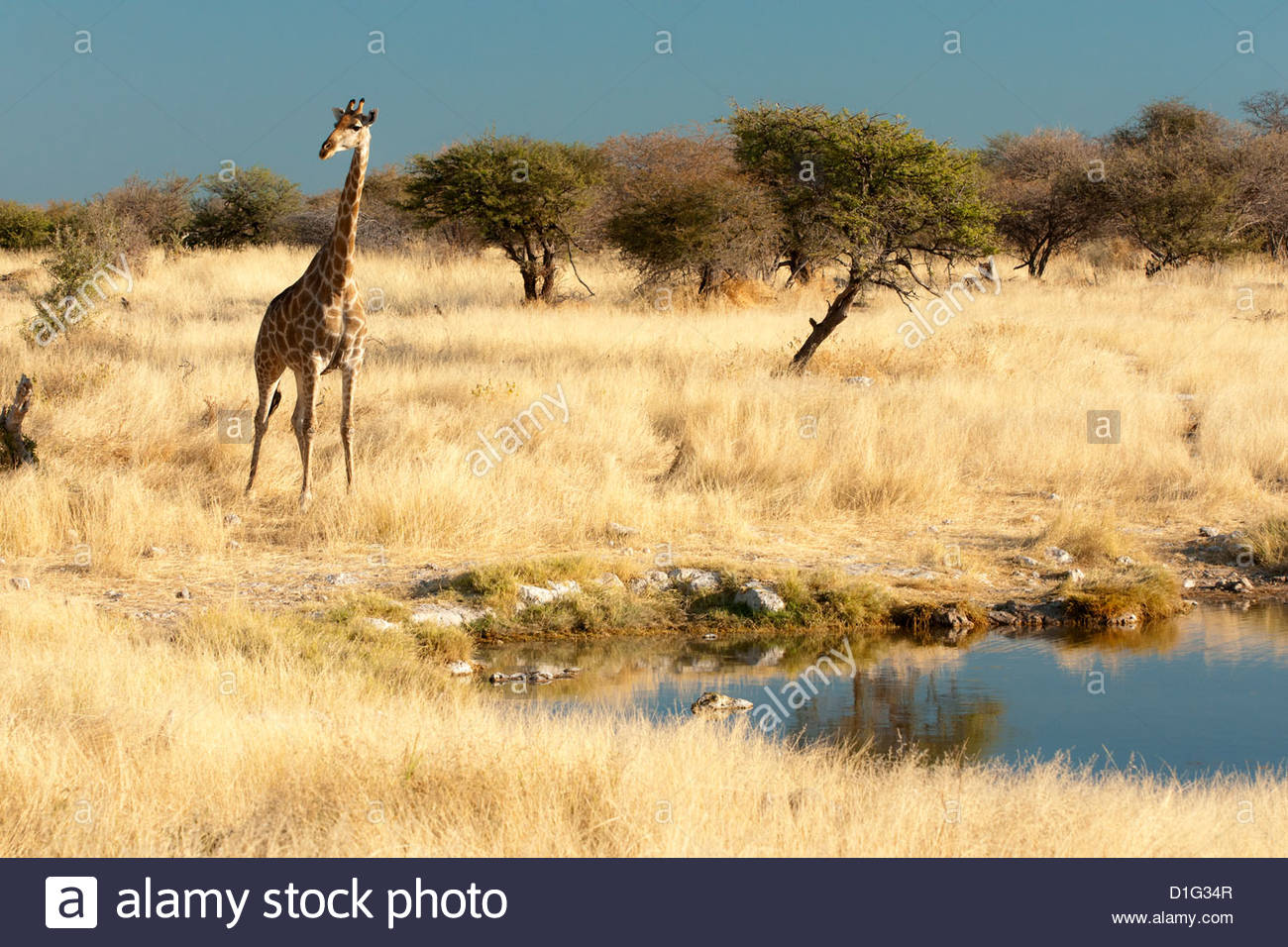 Giraffe (Giraffa camelopardis) at water hole, world's tallest animal, Etosha National Park, Namibia, Africa - Stock Image
