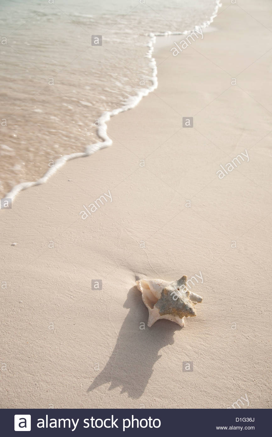 Conch shell washed up on Grace Bay Beach, Providenciales, Turks and Caicos Islands, West Indies, Caribbean, Central - Stock Image