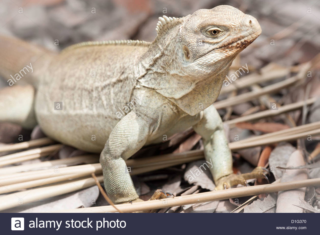 Rock Iguana endemic to the country, Iguana Island, Providenciales, Turks and Caicos Islands, West Indies, Caribbean - Stock Image