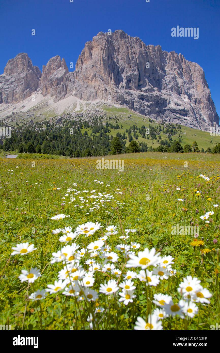 Sassolungo Group and daisies, Sella Pass, Trento and Bolzano Provinces, Italian Dolomites, Italy, Europe - Stock Image