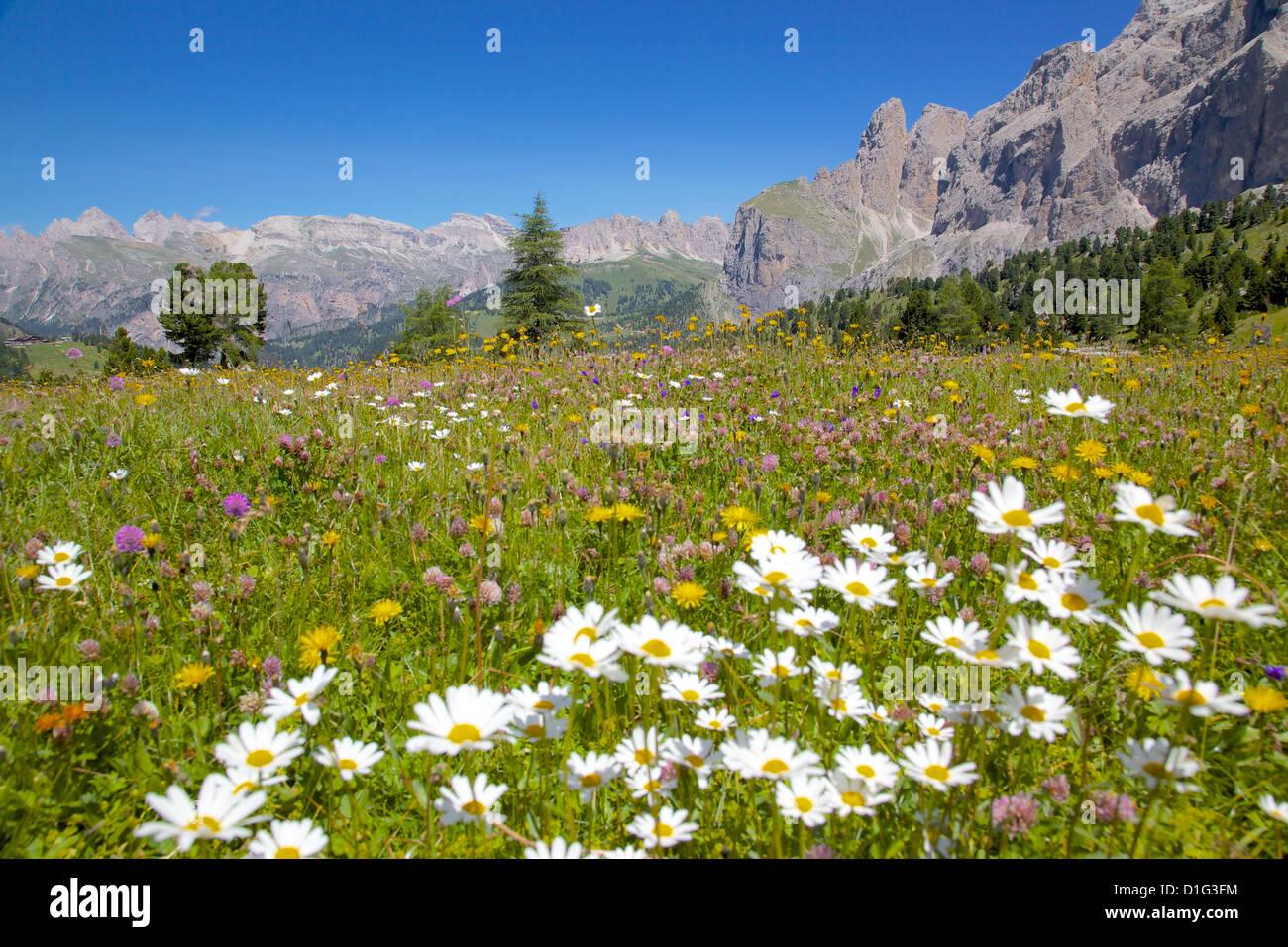 Daisies, Sella Pass, Trento and Bolzano Provinces, Italian Dolomites, Italy, Europe - Stock Image