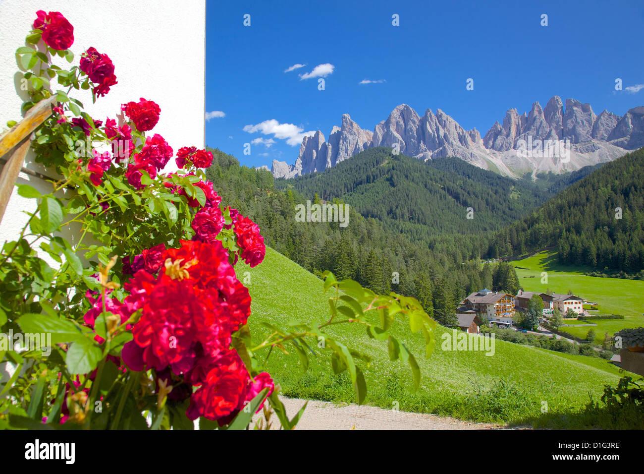 Roses on chalet wall, Val di Funes, Bolzano Province, Trentino-Alto Adige/South Tyrol, Italian Dolomites, Italy, - Stock Image