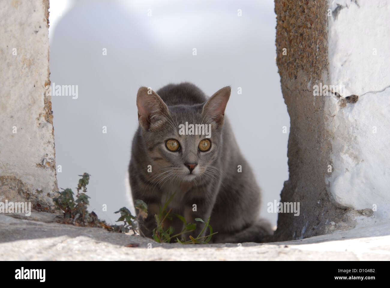Blue Tortie Tabby and White, hidden in a gap of a wall, Greece, Dodecanese Island, Non-pedigree Shorthair, felis - Stock Image