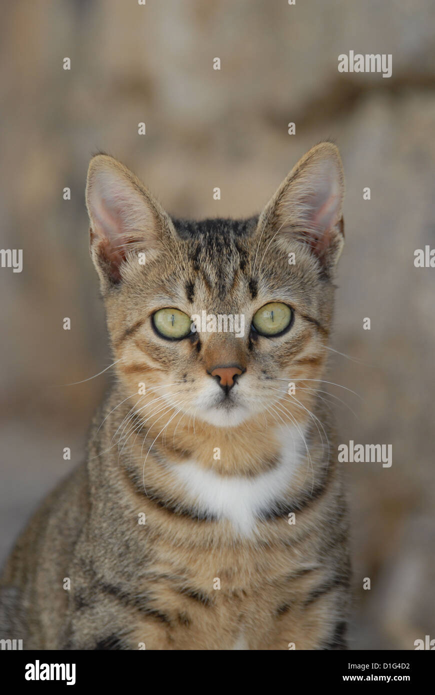 Tabby and White, portrait, Greece, Dodecanese Island, Non-pedigree Shorthair, felis silvestris forma catus, domesticus - Stock Image