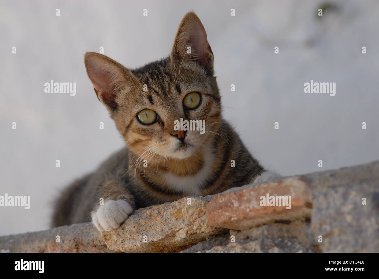 Tabby and White, peering down from a wall, Greece, Dodecanese Island, Non-pedigree Shorthair, felis silvestris forma - Stock Image