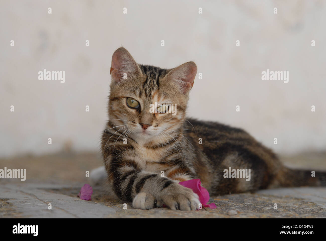 Black Tortie Tabby (Torbie) and White, is lying on a rocky step near by a blossom of Bougainvillea, Greece, Dodecanese - Stock Image