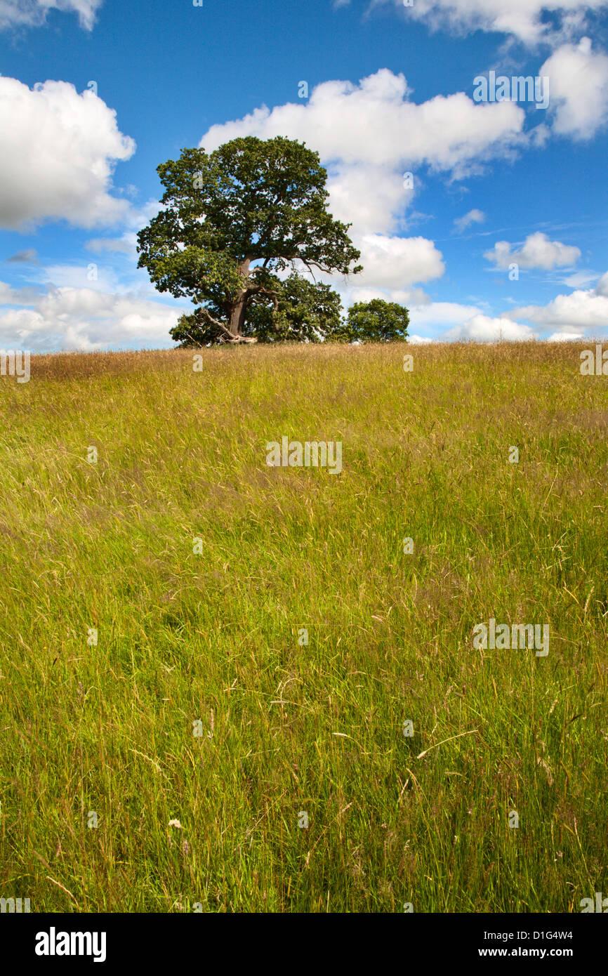 Summer tree and long grass at Jacob Smith Park Knaresborough, North Yorkshire, Yorkshire, England, United Kingdom, - Stock Image