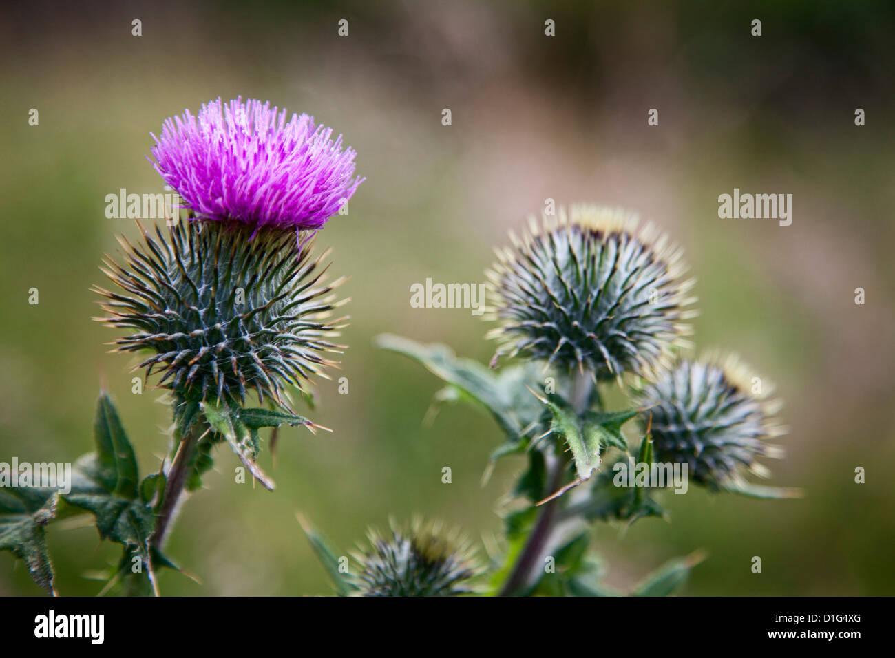 Scottish thistle near Dunnottar Castle, Stonehaven, Aberdeenshire, Scotland, United Kingdom, Europe - Stock Image
