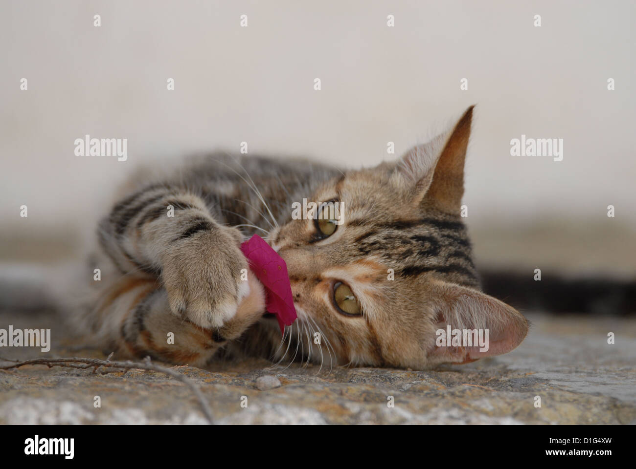 Tortie Tabby (Torbie) and White, is lying on a rocky step, playing with a blossom of Bougainvillea, Greece, Dodecanese - Stock Image