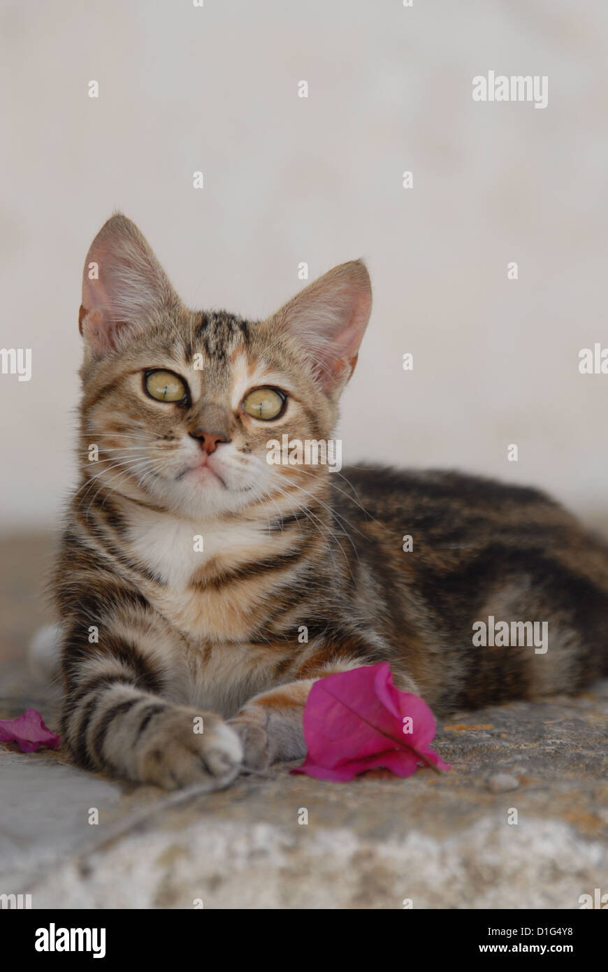 Black Tortie Tabby (Torbie) and White, is lying on a rocky step near by a blossom of Bougainvillea, Greece, Dodecanese Stock Photo
