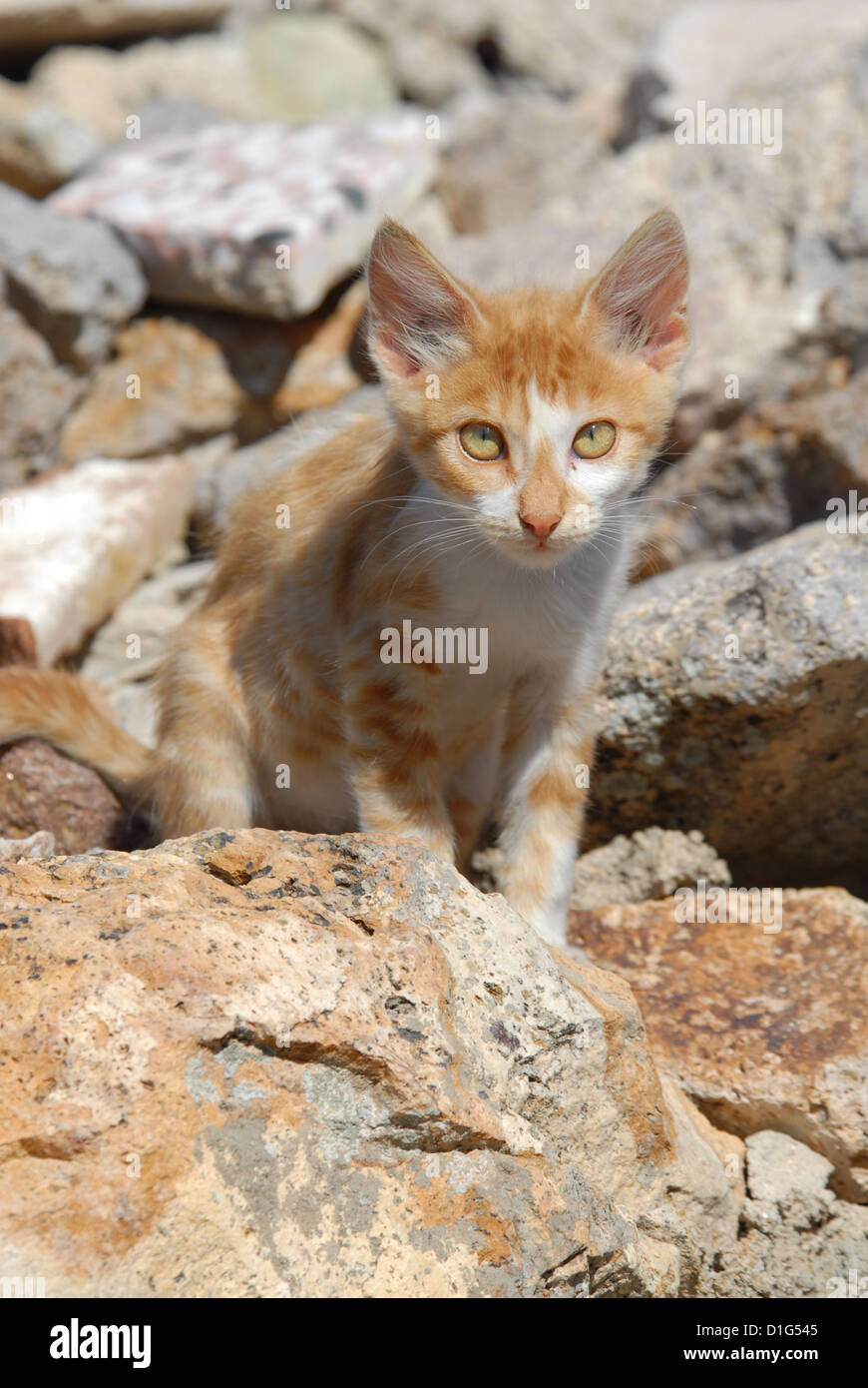 Red Tabby and White, portrait, Greece, Dodecanese Island, Non-pedigree Shorthair, felis silvestris forma catus, Stock Photo