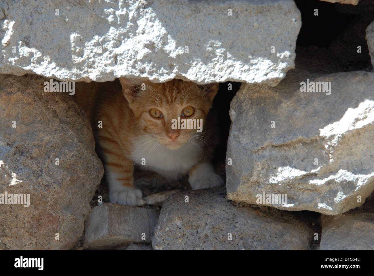 Red Tabby and White, portrait, Greece, Dodecanese Island, Non-pedigree Shorthair, felis silvestris forma catus, - Stock Image