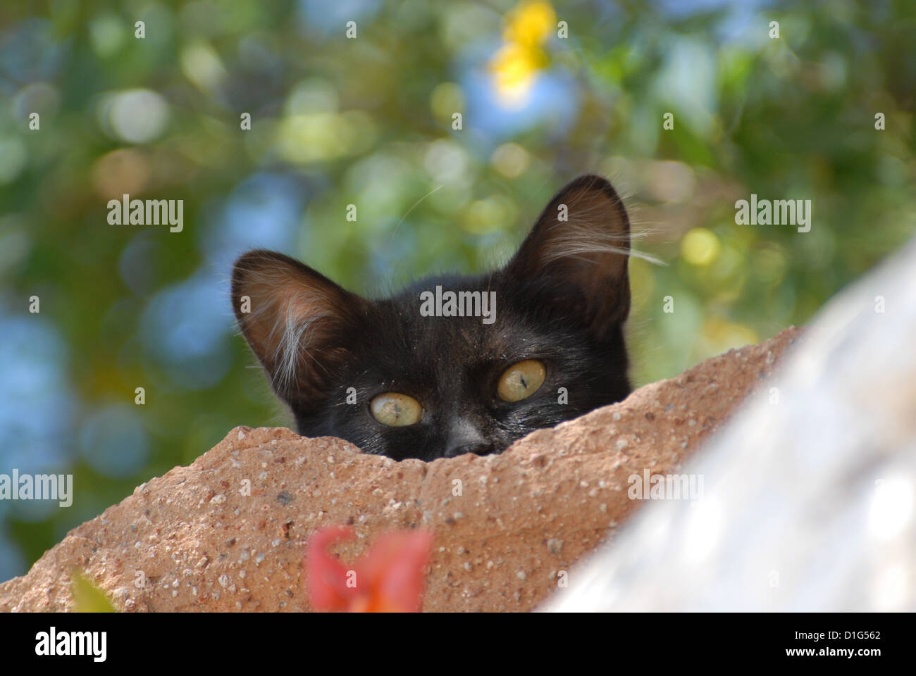 Black, peering down from a wall, portrait, Greece, Dodecanese Island, Non-pedigree Shorthair, felis silvestris forma Stock Photo