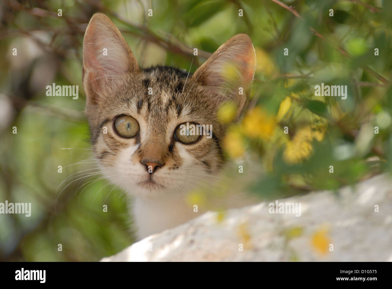 Tabby and White, peering down from a wall, portrait, Greece, Dodecanese Island, Non-pedigree Shorthair, felis silvestris Stock Photo