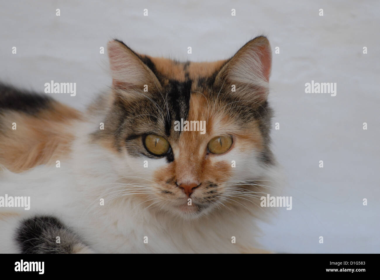 Tortie Tabby and White, portrait, Greece, Dodecanese Island, Non-pedigree, felis silvestris forma catus, domesticus Stock Photo