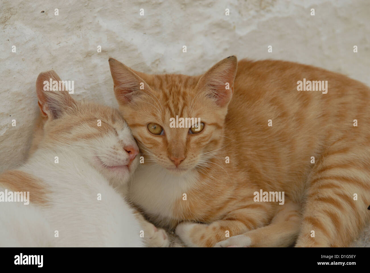 two kittens, Red-Tabby-White, resting side by side, cuddle up together, Greece, Dodecanese Island, Non-pedigree - Stock Image