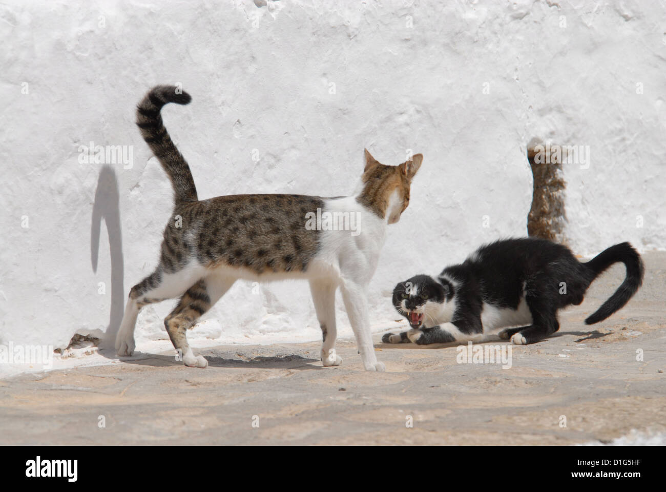 two cats have a fight and hiss, Greece, Dodecanese Island, Non-pedigree Shorthair, felis silvestris forma catus, - Stock Image