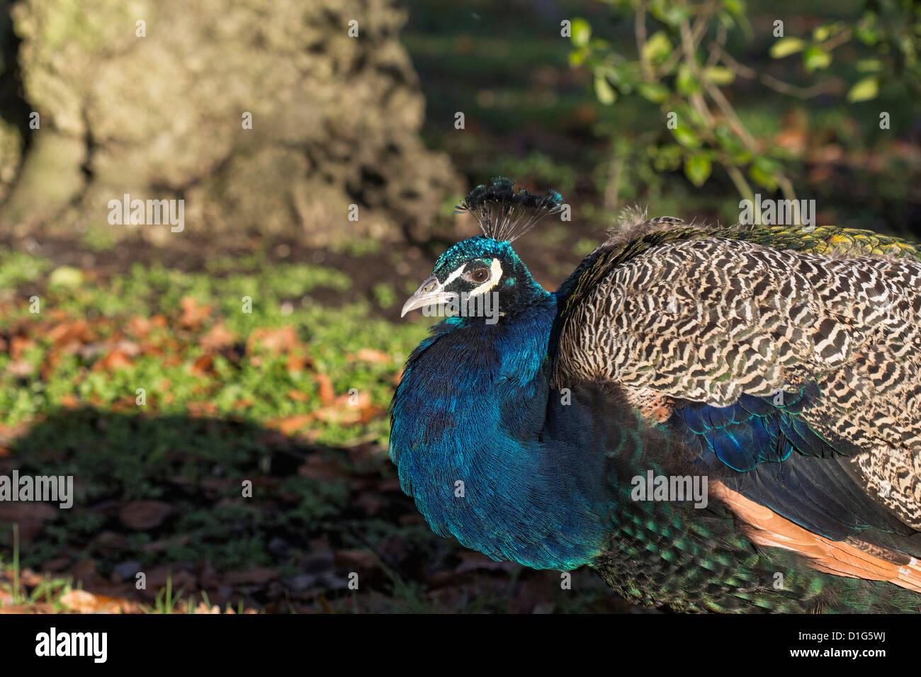 A peacock (Pavo cristatus) with iridescent blue-green plumage at Kew Gradens, Surrey Stock Photo