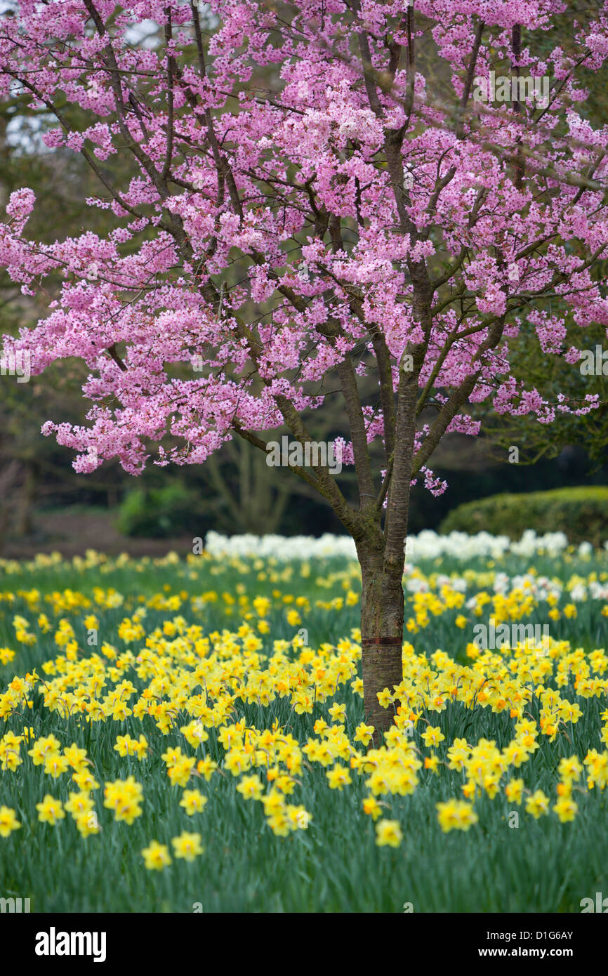 Daffodils and blossom in spring, Hampton, Greater London, England, United Kingdom, Europe Stock Photo