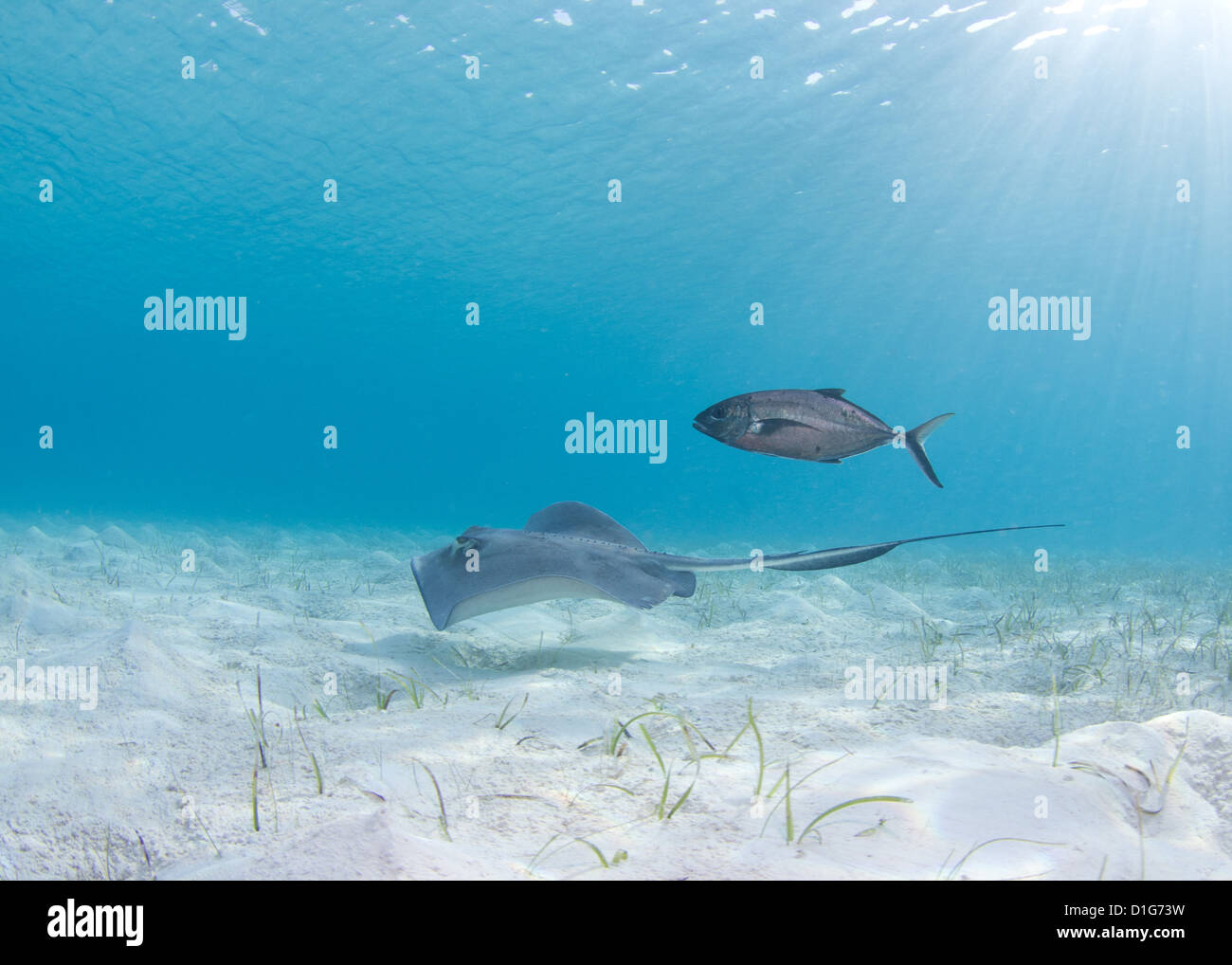 Stingray in White Sand - Stock Image