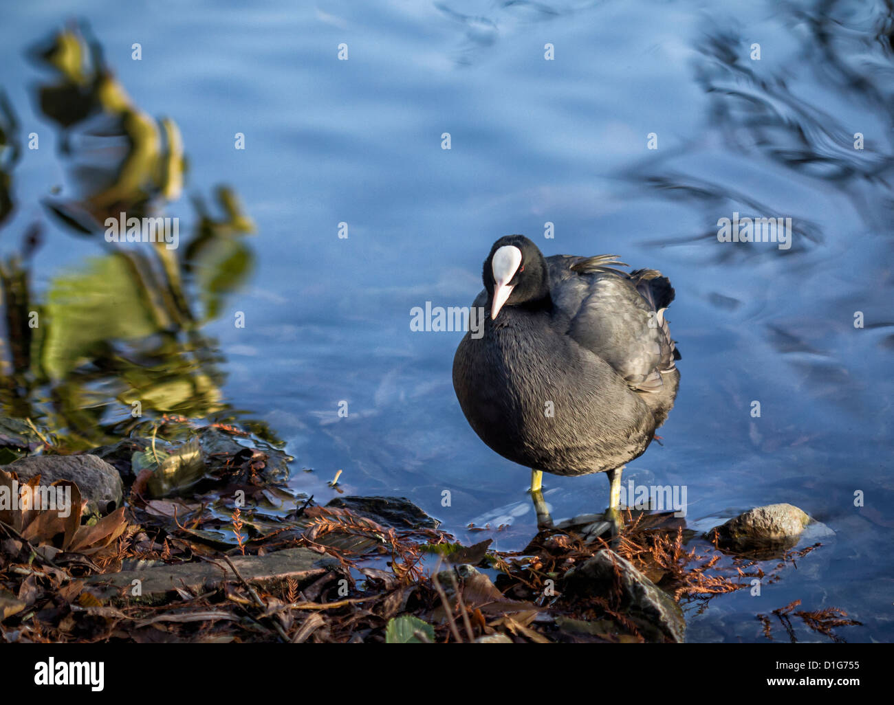 A coot (Fulica atra) wading in the lake at Kew Gardens, Surrey, UK - Stock Image