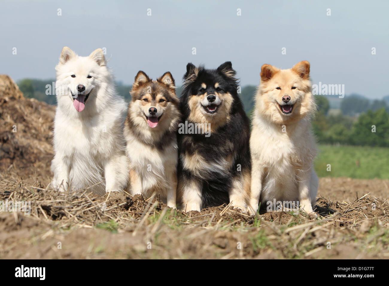 Dog Finnish Lapphund Adult Adults Lapinkoïra Chien Finnois