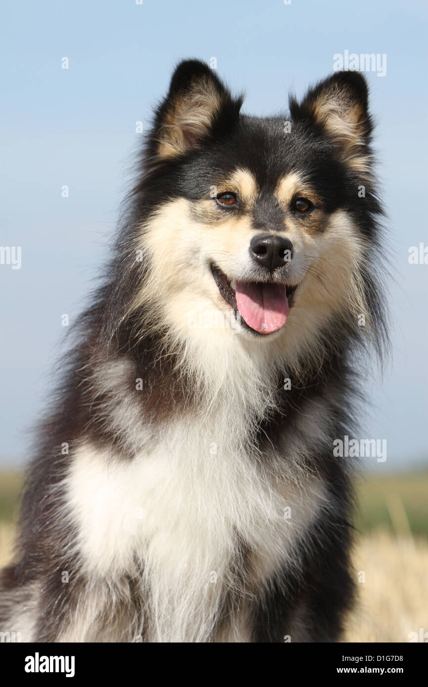 Dog Finnish Lapphund Suomenlapinkoira Lapinkoïra Chien
