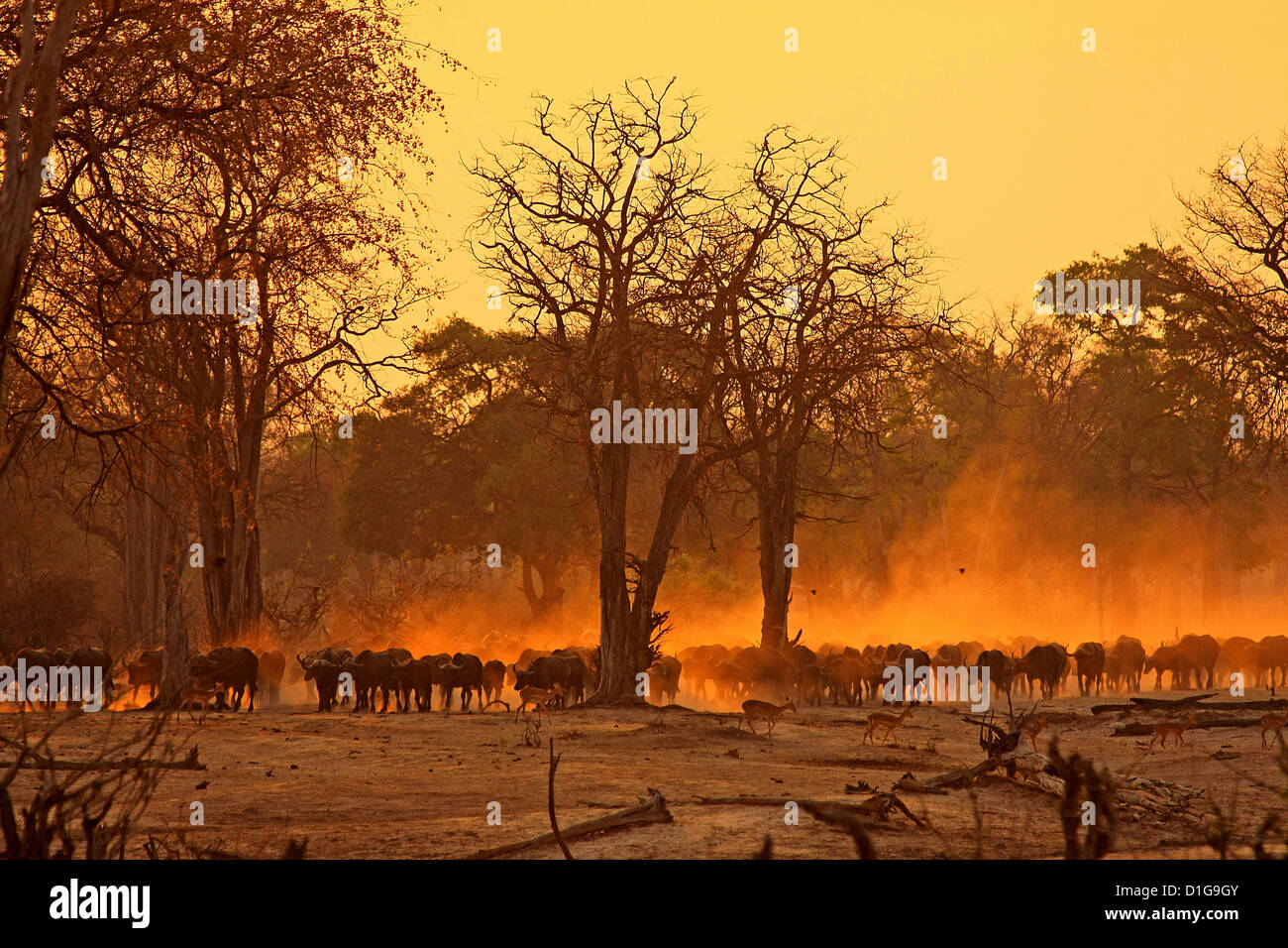 A herd of buffalo in the early morning sunrise - Stock Image