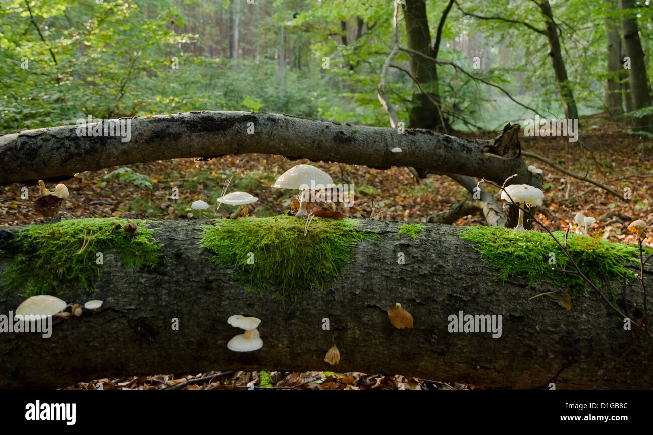 fungi in the woodland - Stock Image