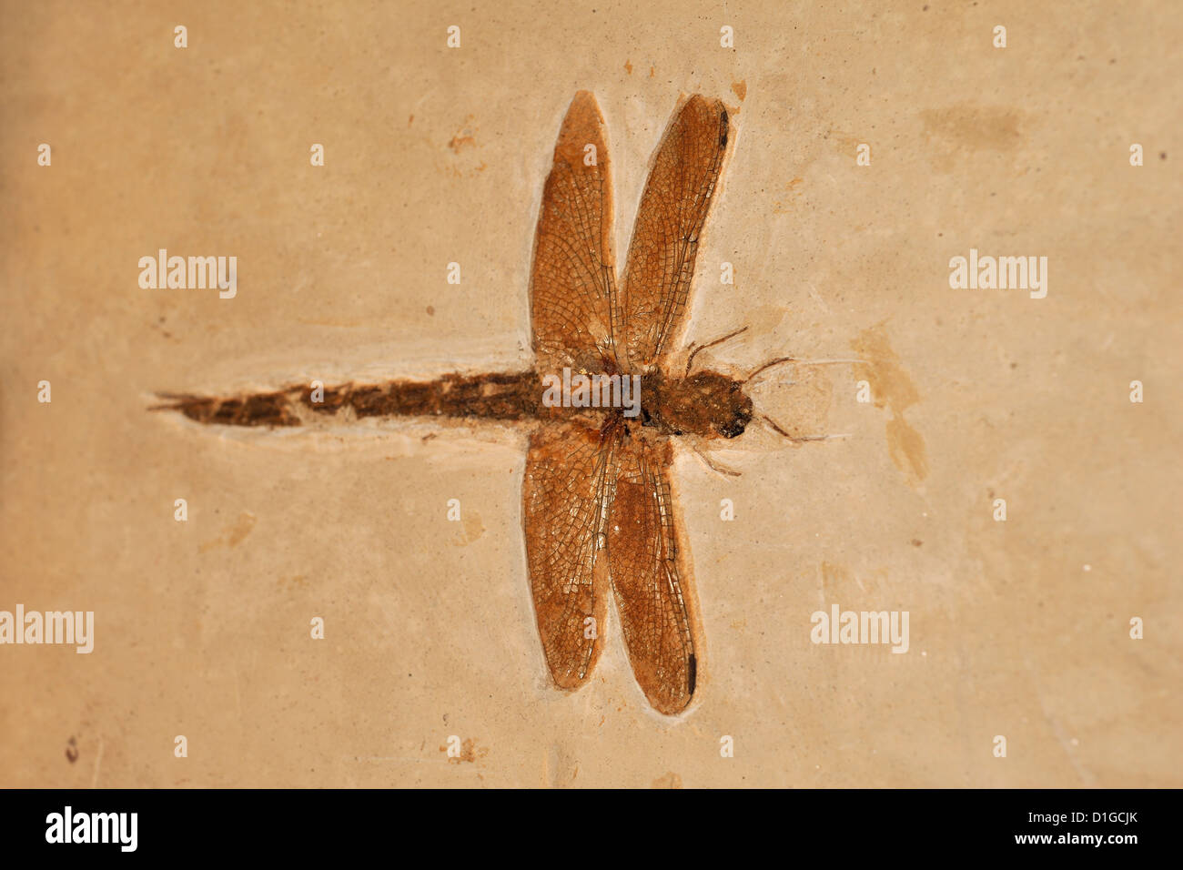 Fossil dragonfly, Odonata, Cretaceous Period, Grado, Italy - Stock Image