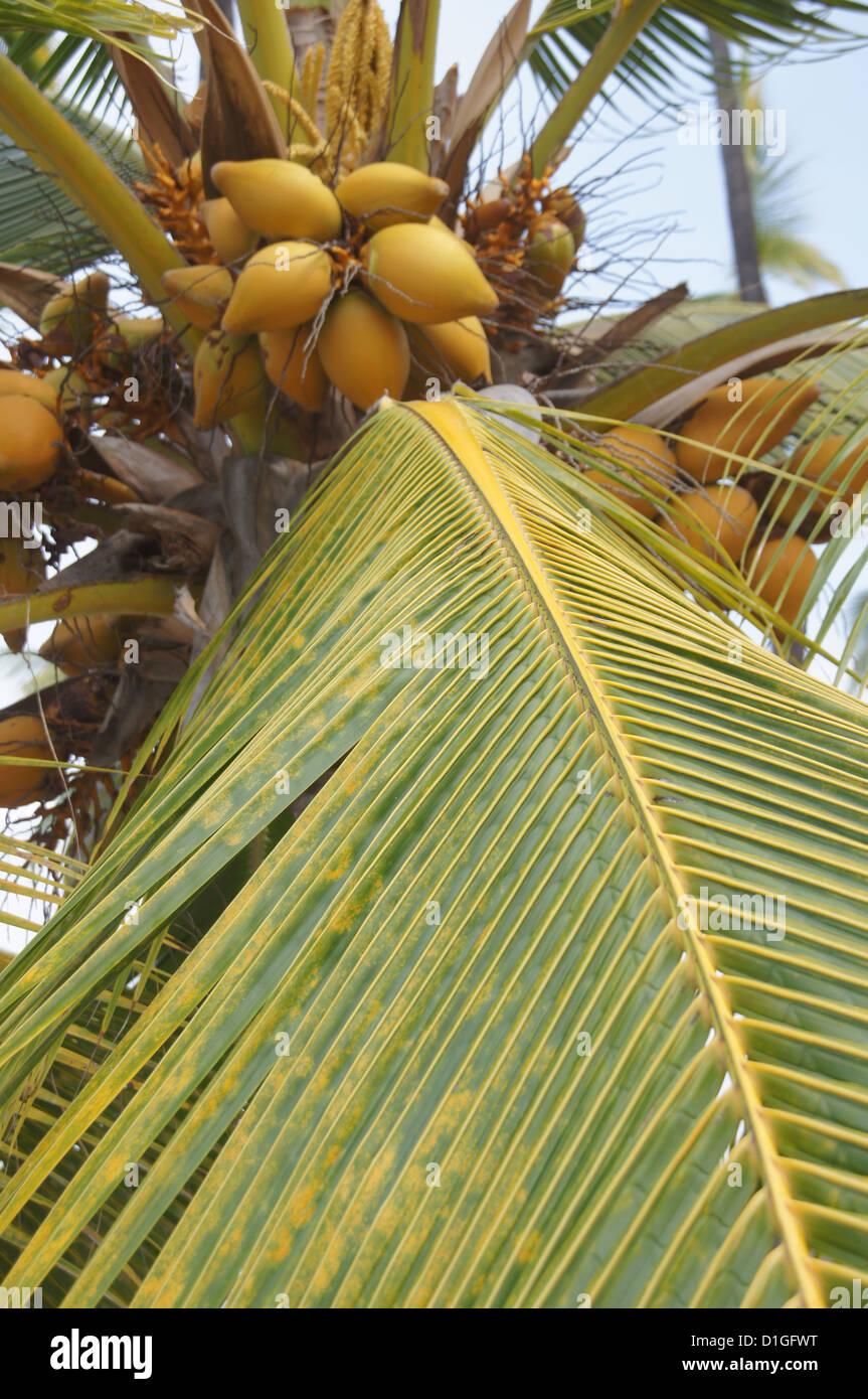 Coconuts in palm tree, Puuhonua O Honaunau Place of Refuge National Park, Hawaii - Stock Image