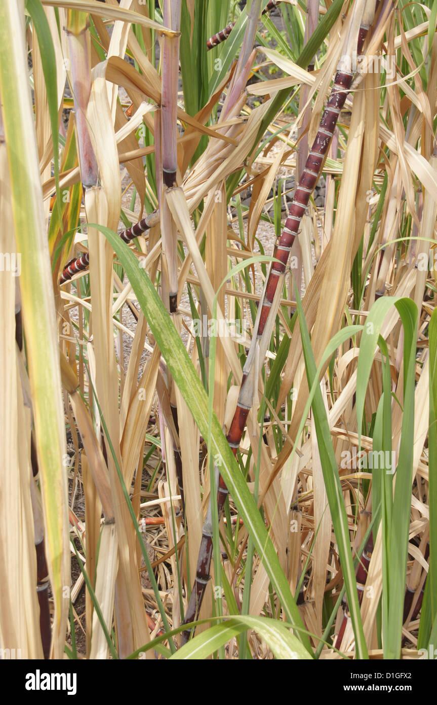 Sugar cane, growing near Puuhonua O Honaunau Place of Refuge National Park, Hawaii - Stock Image