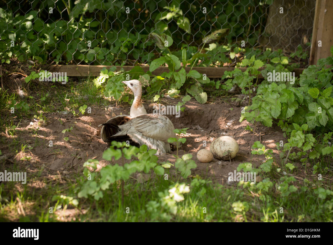 Female Peahen (Phasianidae) Peacock by her eggs and nest - Stock Image