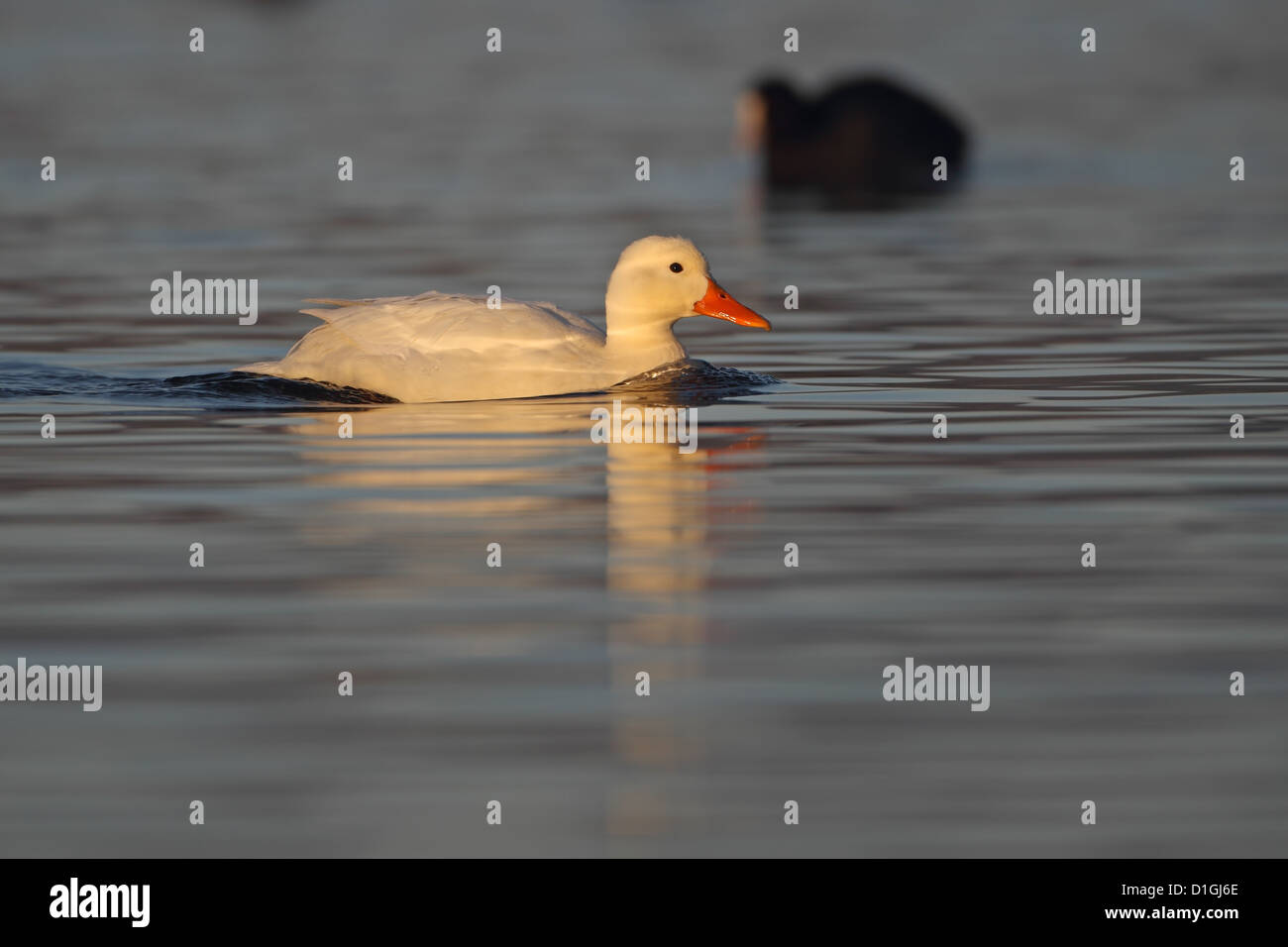 Pekin Aylesbury Duck Mallard (Anas platyrhynchos) - Stock Image