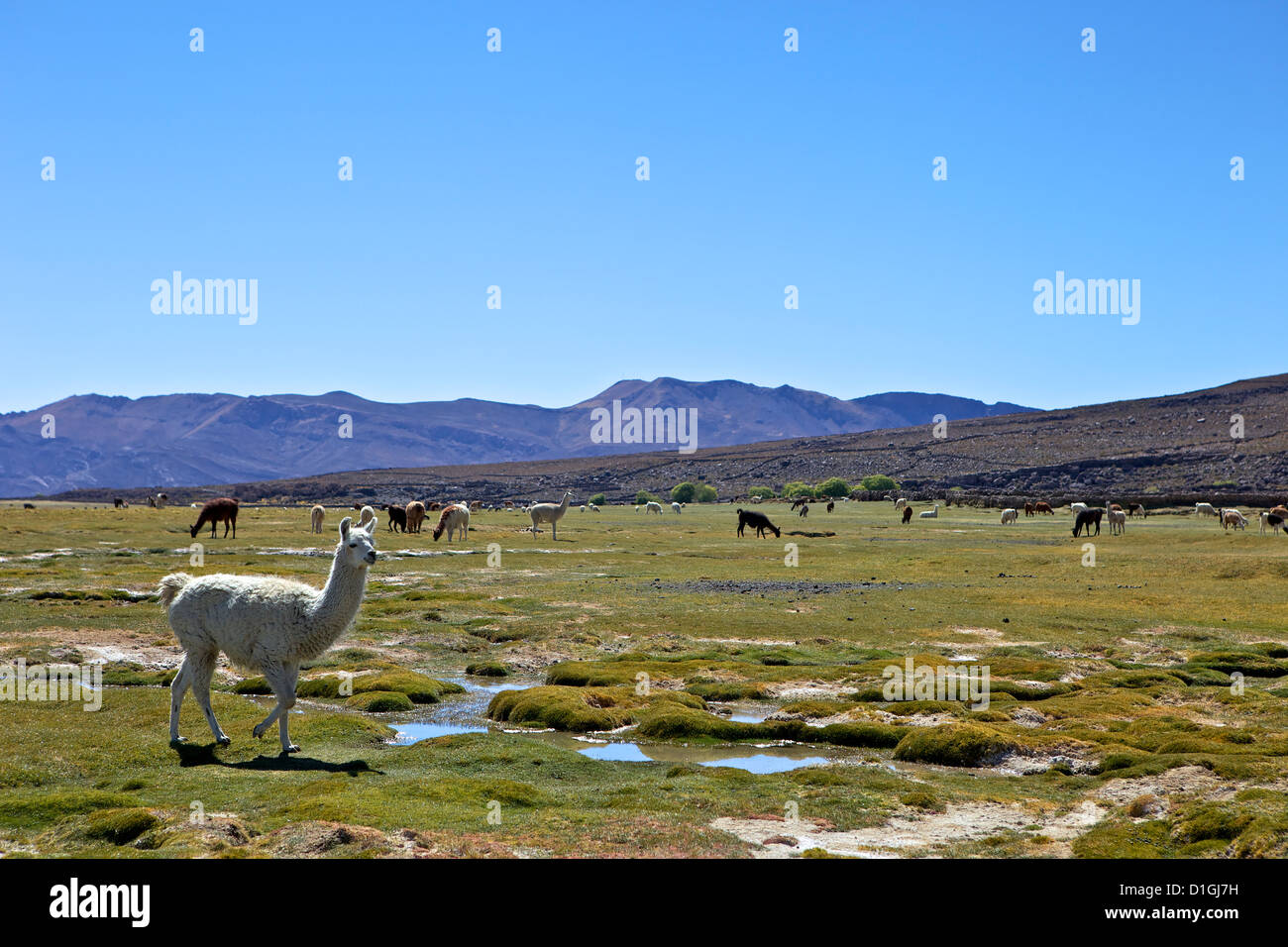 Llamas and alpacas grazing, Tunupa, Bolivia, South America - Stock Image